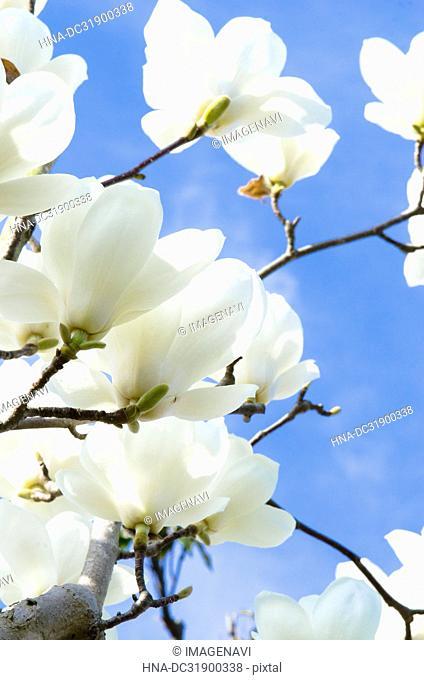 Flowers of magnolia