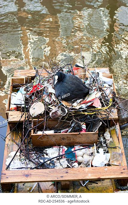 Eurasian Coot on nest built from garbage Amsterdam Netherlands Fulica atra
