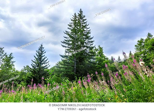 Landscape with spruce and glade with blooming fireweed in the mountain. The photo is taken in Vitosha mountain in Bulgaria, Europe