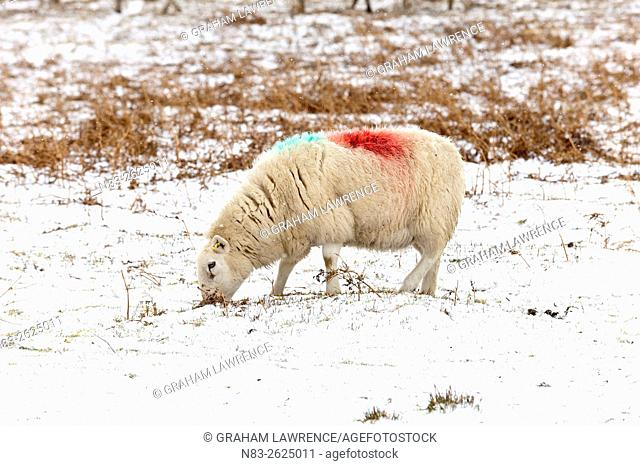 A ewe forages for food in a wintry landscape on high moorland in Powys, Wales, UK