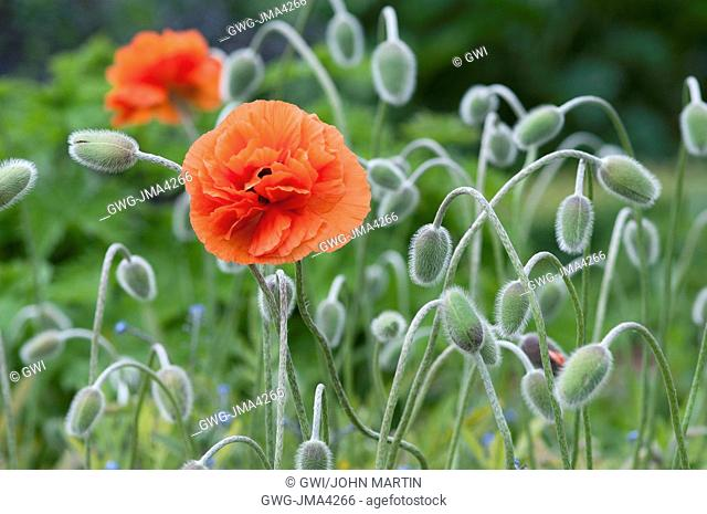 PAPAVER 'FIREBALL'