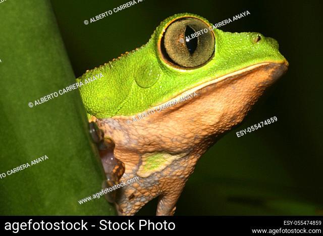 Tropical Green Frog, Rainforest, Napo River Basin, Amazonia, Ecuador, America