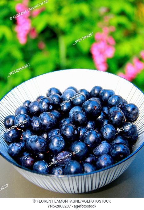 Grosse variete de myrtille bleuet