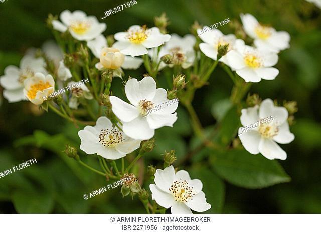 White Multiflora roses (Rosa multiflora), Limburg an der Lahn, Hesse, Germany, Europe
