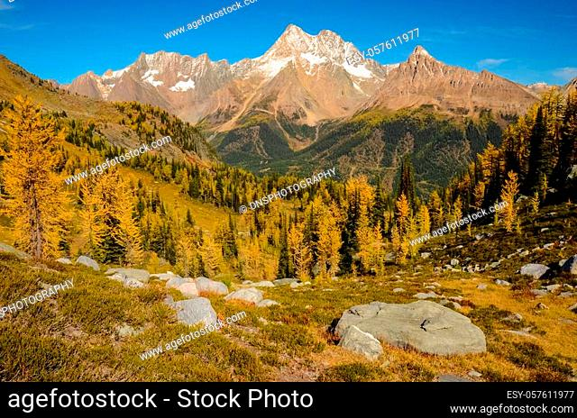 Golden Larch in fall, Jumbo Pass in the Purcell Mountains, British Columbia, Canada