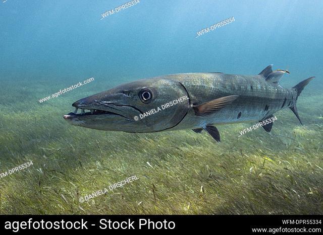 Great Barracuda, Sphyraena barracuda, Akumal, Tulum, Mexico