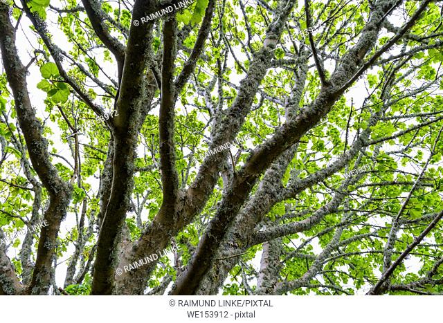 Maple tree with lichen in spring, Isle of Skye, Scotland, United Kingdom
