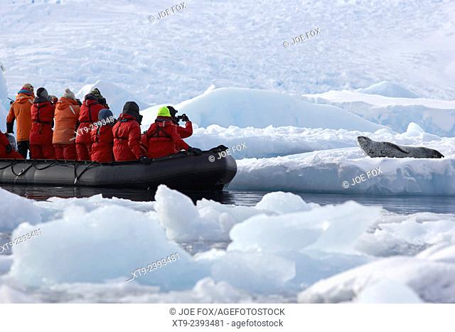 antarctic expedition zodiac boat approaching leopard seal on sea ice cierva cove antarctica