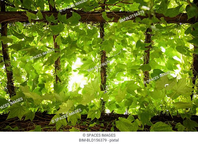 Low angle view of leaves growing on vines