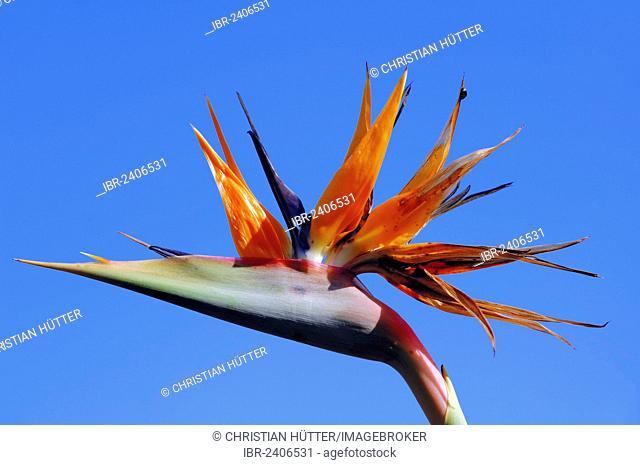 Strelitzia, Crane Flower or Bird of Paradise (Strelitzia reginae), flower, native to southern Africa, ornamental plant