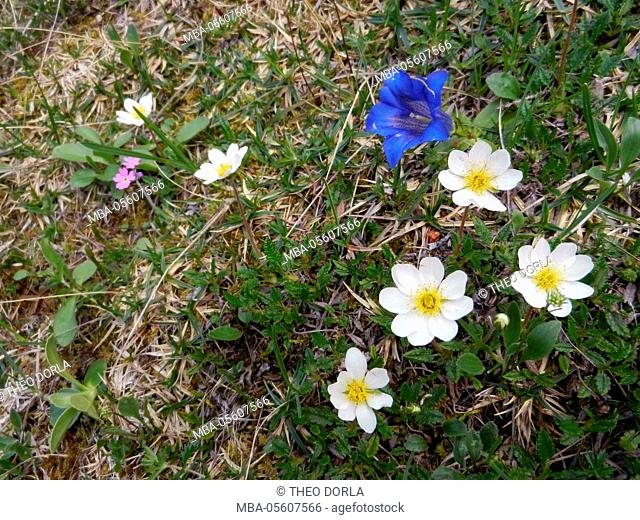 Silberwurz, Dryas octopetala, and gentian closeout stalk, Gentiana acaulis, at the Karwendel