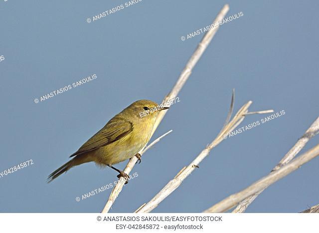 Chiffchaff (Phylloscopus collybita), Greece