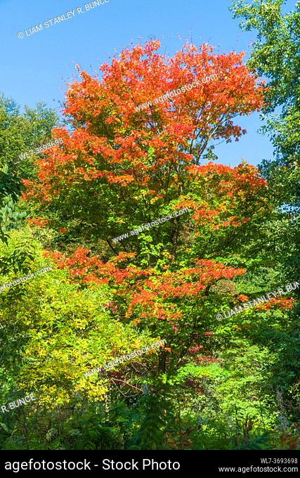 Sugar Maple (Acer saccharum) Queenswood Arboretum Herefordshire UK September 2020