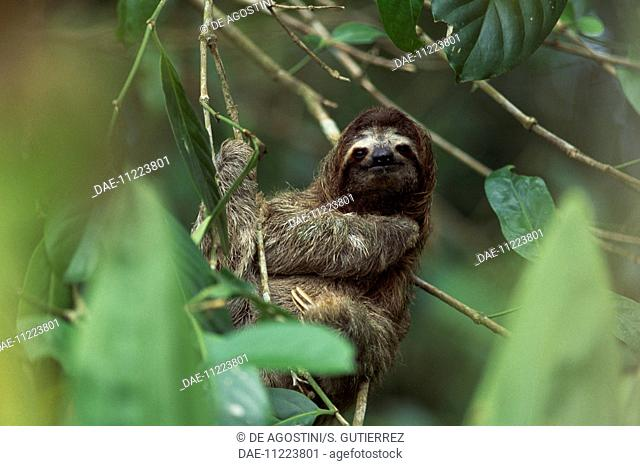 Pale-throated sloth (Bradypus tridactylus), Bradypodidae, Cahuita National Park, Costa Rica