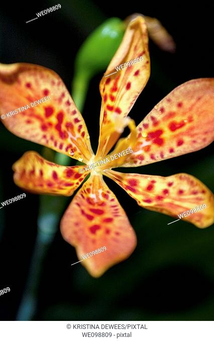 A red spotted Blackberry Lily with droplets