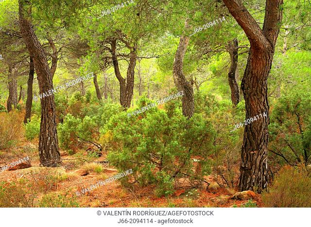 maritime pine (pinus pinaster) forested landscape in the natural park Calderona. Valencia