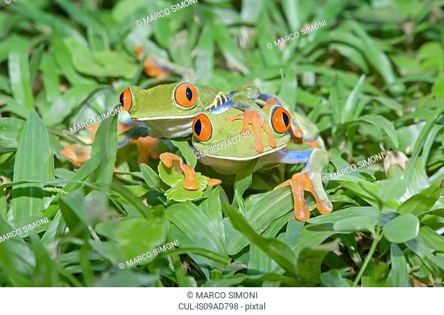Red-eyed tree frogs (Agalychnis callidryas) on plants, Costa Rica