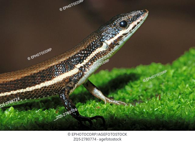 The Tyrrhenian Wall Lizard (Podarcis tiliguerta) is a species of lizard in the Lacertidae family. Its natural habitats are temperate forests