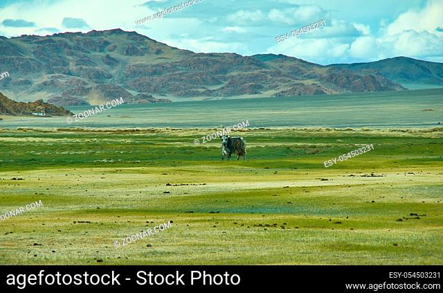 Natural landscape of grazing yak , Driving up to Dorbot pass from Ulan-Baishint. Bayan-Olgii Province in western Mongolia