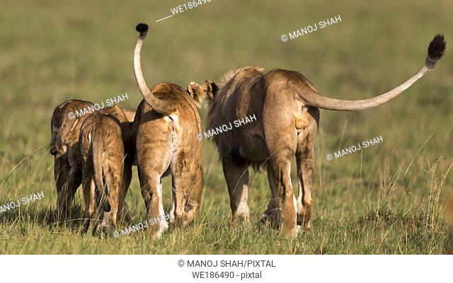 Male lion youngster walking with the younger pride members. Masai Mara National Reserve, Kenya