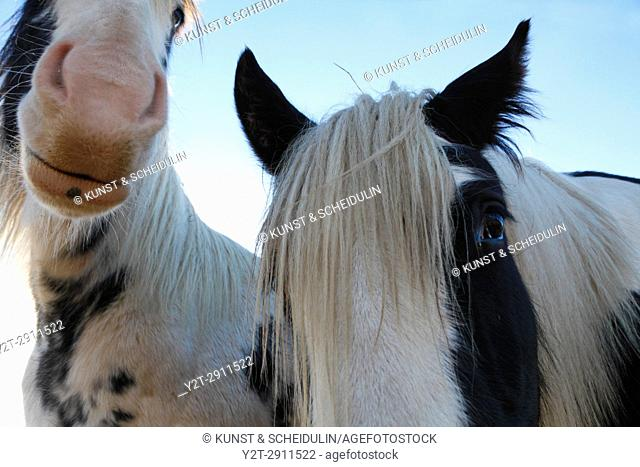 Close up photograph of two Tinker horses on a frosty pasture under a cloudy sky in Anundsjoe, Sweden