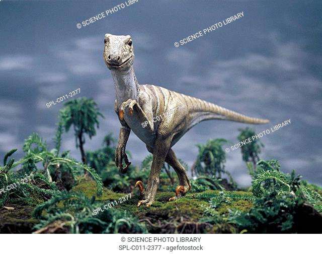 Deinonychus dinosaur model. This carnivorous dinosaur lived around 144 million years ago. Fossil evidence has been discovered in Montana, USA