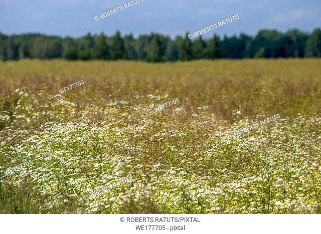 Landscape with daisy field. Beautiful blooming daisies in green grass. Meadow with white daisies in Latvia. Nature flowers in spring and summer season in meadow