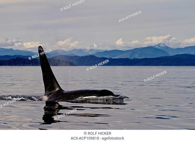 Male northern resident killer whale in Queen Charlotte Sound, British Columbia, Canada