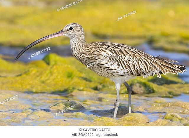 Eurasian Curlew, Standing in a swamp, Qurayyat, Muscat Governorate, Oman (Numenius arquata)