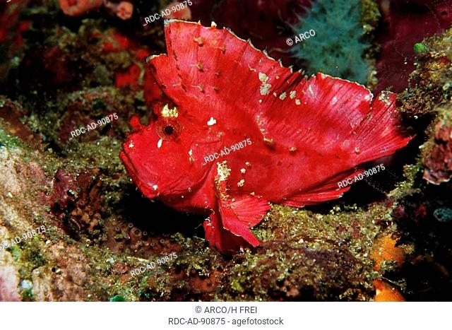 Leaffish, Lembeh Strait, Indonesia, Taenianotus spec , side
