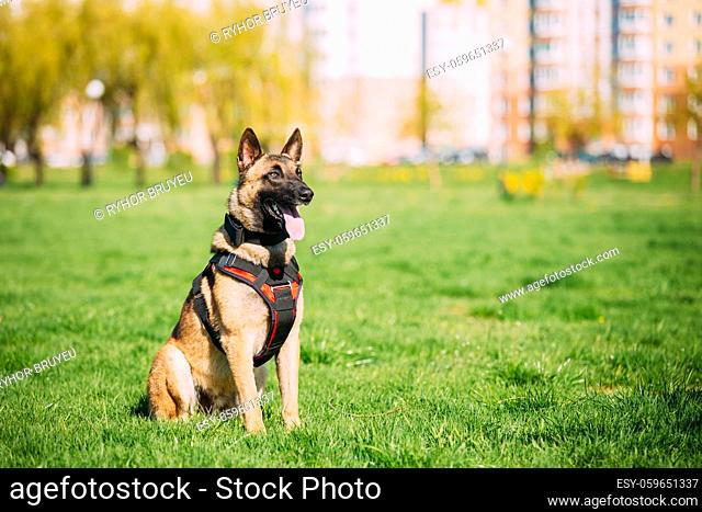 Malinois Dog Sit Outdoors In Green Summer Grass At Training. Well-raised and trained Belgian Malinois are usually active, intelligent, friendly, protective