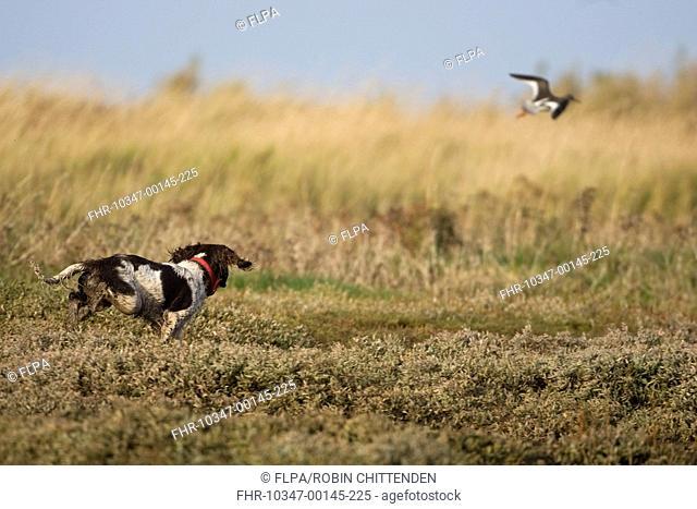 Domestic Dog, English Springer Spaniel, adult, flushing and chasing Common Redshank Tringa totanus, Morston, Norfolk, England, december