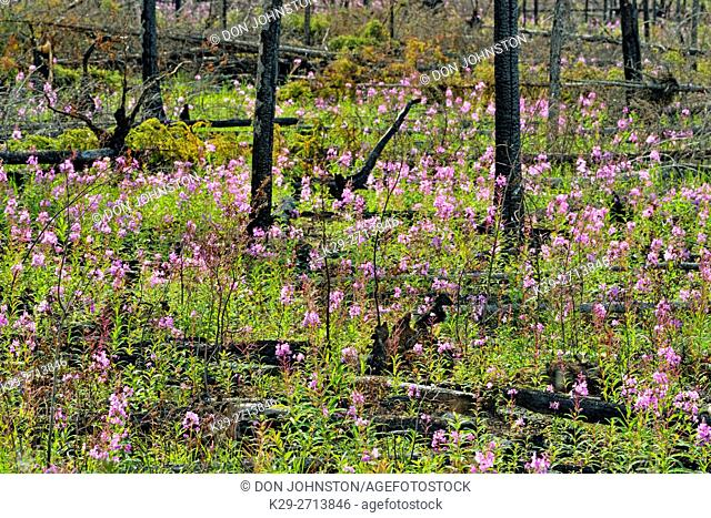 Late summer wildflowers blooming in a recent forest fire zone, Wood Buffalo National Park, Northwest Territories, Canada