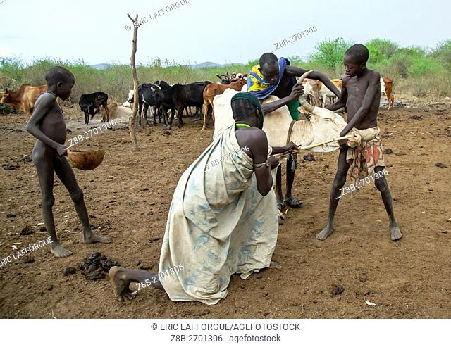 Ethiopia, Omo Valley, Hana Mursi, bodi tribe men taking blood from vein in neck of cow from hole made with arrow