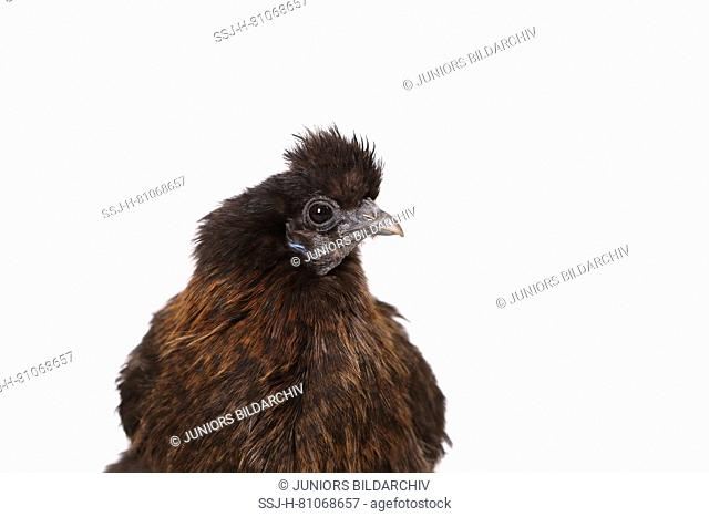 Domestic Chicken, Silkie, Silky. Portrait of adult. Studio picture against a white background