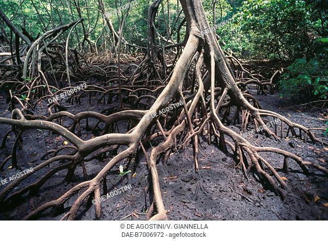 Mangrove roots, Los Haitises National Park, Dominican Republic