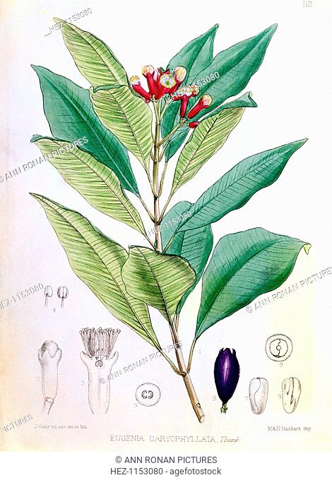 Clove, flower bud of Syzygium aromaticum (Eugenia carophyllata). Syzygium aromaticum is a tropical evergreen tree native to the Moluccas or Spice Islands
