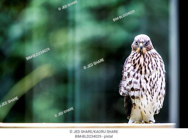 Portrait of hawk standing in window
