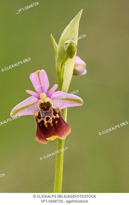 Ophrys holosericea subsp. dinarica, Ubaye, Alpes de Haute-Provence, France