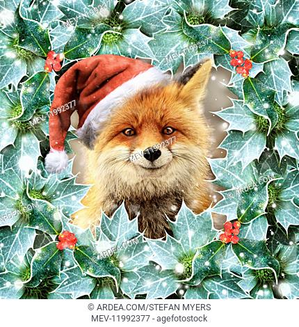 Red Fox, wearing Christmas hat in falling snow surrounded by Holly