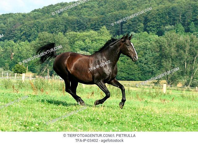 galloping warmblood