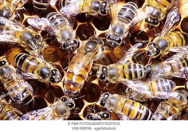 Workers and queen of Apis mellifera on honeycomb, africanized honeybee,  Apidae: Apina,  Viçosa. Minas Gerais. Brazil
