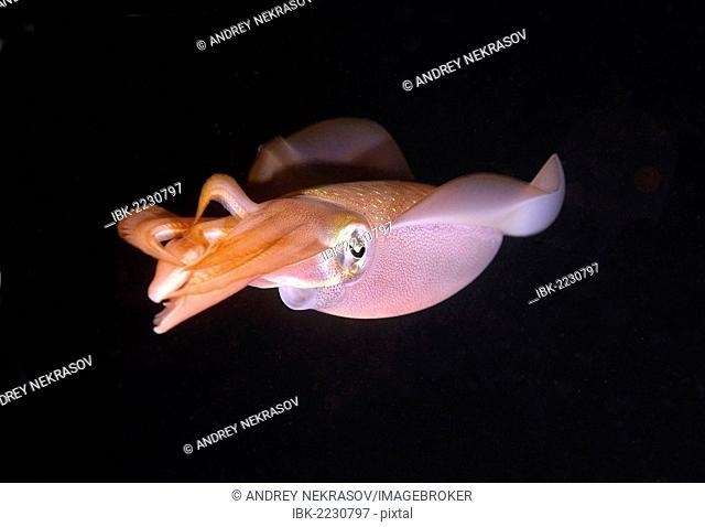 Bigfin reef squid (Sepioteuthis lessoniana), Red Sea, Egypt, Africa