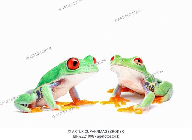 Two Red-eyed Tree Frogs (Agalychnis callidryas)