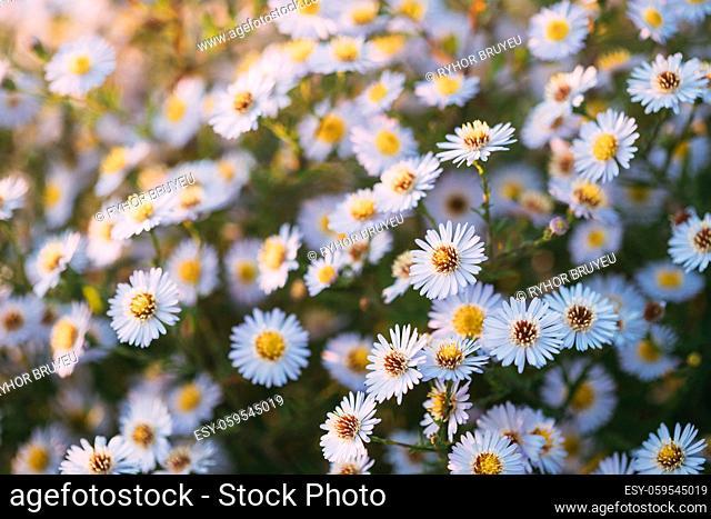 Blooming Aster Perennial Flowering Plants In The Family Asteraceae. Bush In Autumn Season