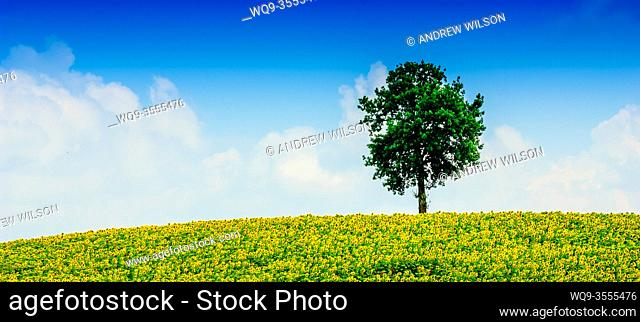 Lone tree in a field of sunflowers in the Cotes de Duras, Lot et Garonne, Aquitaine, France