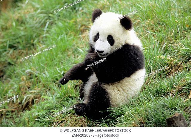 CHINA, SICHUAN PROVINCE, WOLONG PANDA RESERVE, GIANT PANDA CUB (Ailuropoda melanoleuca), 6 MONTHS OLD, SITTING