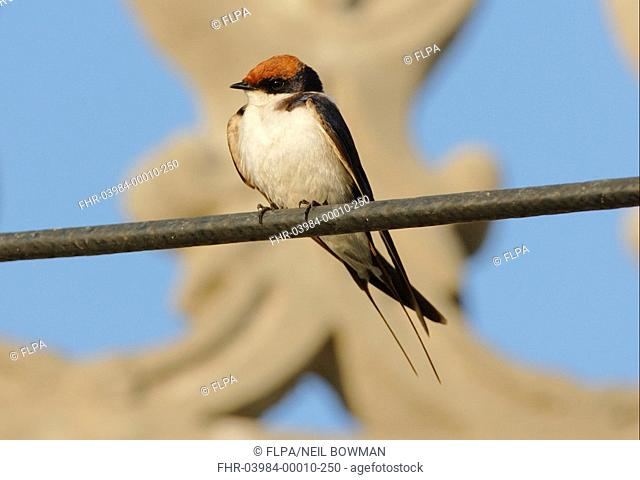 Wire-tailed Swallow Hirundo smithii adult, perched on powerline, Gujarat, India, november