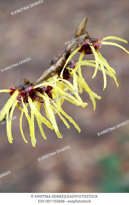Spring blooming Witchhazel