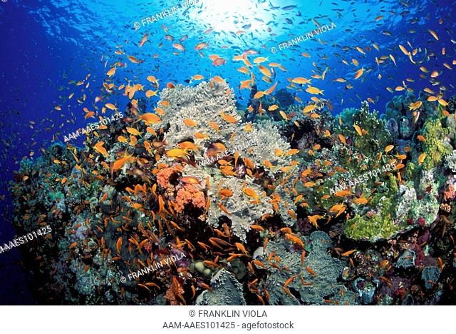 Coral Reef and School of Anthias Fish (Pseudanthias) Red Sea, Staghorn, Sea Fans & Soft Corals